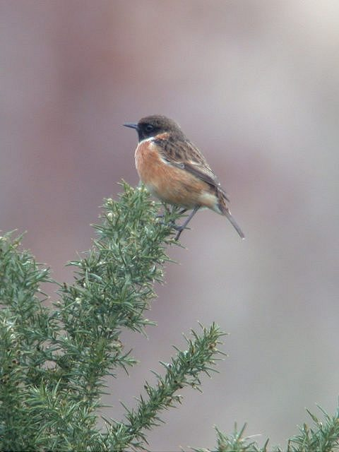 Male Stonechat    © Mark Reeder